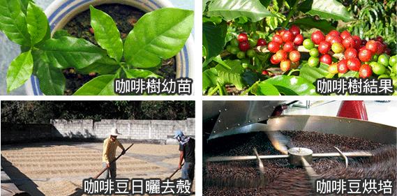 咖啡生產過程